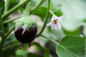 Mi fán terem a padlizsán (Solanum melongena)?