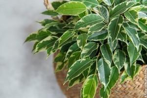 Kislevelű fikusz: az ország legcsábítóbb szobanövénye