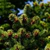 Örökzöld növények, fenyők gondozása