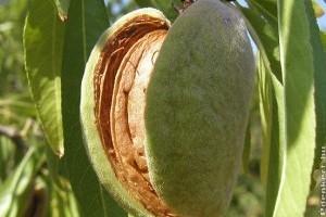 Ismerkedjünk meg a mandulával (Prunus dulcis)