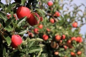 Az almafa metszése