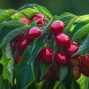 A cseresznyefák metszése