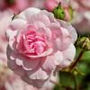 A rózsák metszése (teahibrid, floribunda és bokorrózsák)