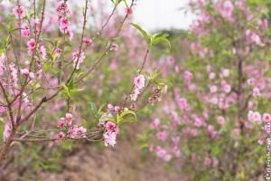 Az őszibarackfák tavaszi ültetése
