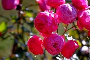 Tervezzük meg rózsakertünket!
