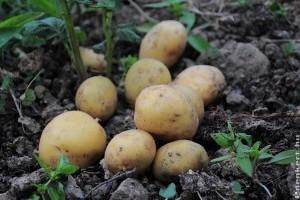 A burgonya előcsíráztatásával hamarabb lesz újkrumplink