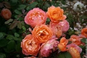 David Austin rózsák és társnövényeik