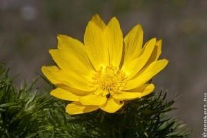 Tavaszi hérics (Adonis vernalis), az év vadvirága