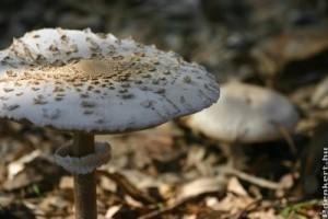 Nagy őzlábgomba (Macrolepiota procera), a 2012-es év gombája