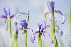 Fátyolos nőszirmot (Iris spuria) találtak a nyíregyházi Oláh-réten