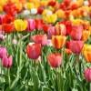 Érdekességek a tulipánról (Tulipa)