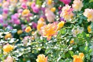 Miért rendkívüli növény a rózsa?