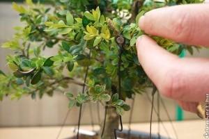 Buxus bonsai tavaszi metszése