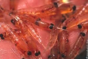 Krill olaj: az új generációs Omega-3