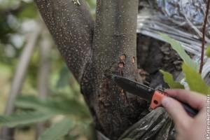 Magyar kutatók fékezhetik meg a gesztenyefák pusztulását