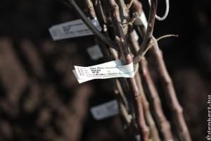 A növényhamisítás ellen küzd az Állami Gyümölcskutató Intézet