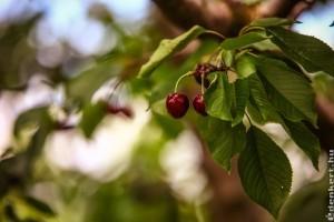 Emberemlékezet óta nem ehettünk ilyen korán jó cseresznyét!