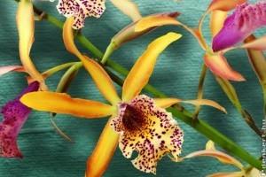 Magyar fejlesztésű világító orchideák debütálnak az Orchidea Ünnepen