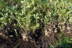 Nagyban is megéri földimogyorót termeszteni!