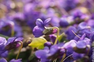 Virágkonyha: illatos ibolyatorta és kandírozott virágszirom