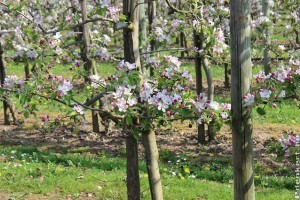 8 hasznos tipp a tavaszi gyümölcsfa ültetéshez!