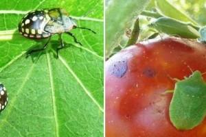 Kicsi, barna, büdös bogarak repülnek be az ablakon...