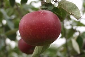 A fekete tányéralma lett az év gyümölcsfajtája