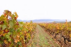 Növény-egészségügyi zárlatot rendeltek el Pécsen a szőlő aranyszínű sárgasága miatt
