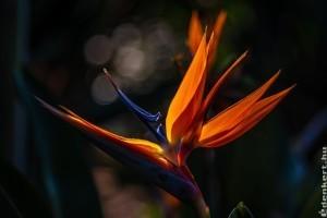 Mit kell tudni a papagájvirágról (Strelitzia reginae)?