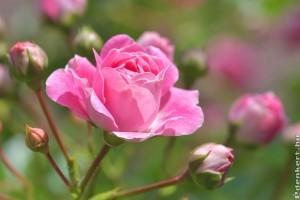 3 tipp, hogy tökéletes legyen a rózsakerted!
