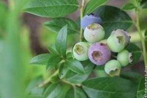 Organikus áfonya termesztés? Akár házikertben is működhet