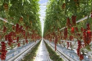 2019-es ígéret: 91 hektár zöldségtermesztő üvegház épül