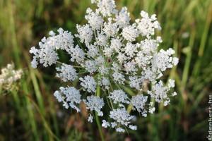 Vigyázzunk az ernyősvirágzatú növényekkel, kiütést okozhatnak