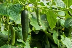 Több mint 670 millió forint zöldségnemesítésre