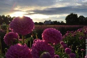 Egymillió dália érkezik Hollandiából a Debreceni Virágkarneválra
