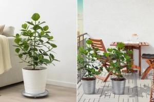 Clusia: fikuszhoz hasonló szobanövény a trópusokról