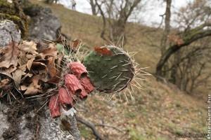 Invazív Amerikai fügekaktusz telepedett meg a Vértesben