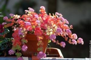 Októberke színeváltozása: ilyen csodás lesz novemberre az októberi varjúháj