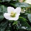A tél előkelő virága: fekete hunyor (Helleborus niger)