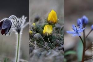 Védett tavaszi virágok, melyekkel túráink során találkozhatunk