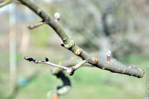 Almatermésűek metszése: ismerd fel a termőrészeket (fotókkal)