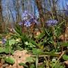 25 ezer csillagvirág nyílik a nyíregyházi Sóstói-erdőben