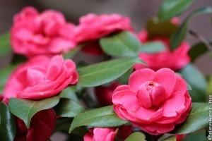 Kamélia a tél csodás virága