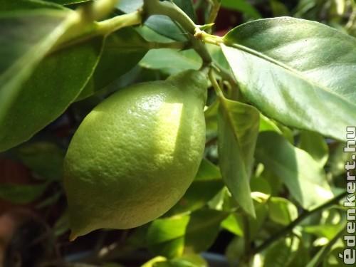 Érik a Lime
